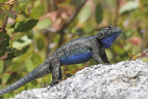 (Sceloporus occidentalis)