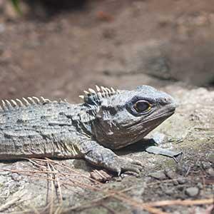 iguana ma dwa penisa)
