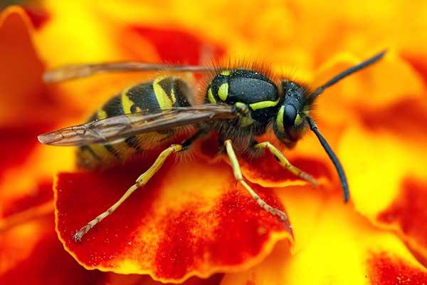 Osa obyčajná - hmyz   dezinsekcia   DDD Emergency