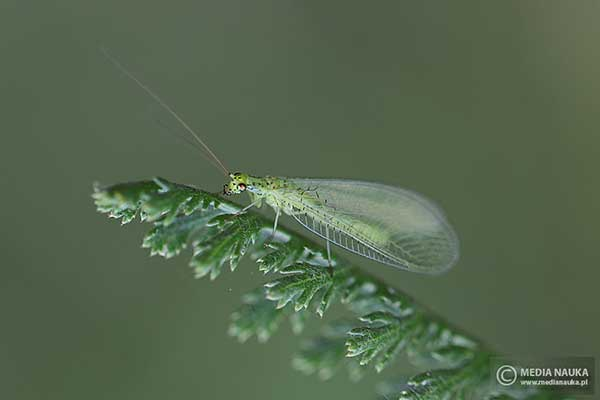 Złotook(Chrysoperla spp.)