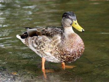 Gatunek kaczki hasło krzyżówki
