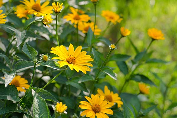 (Heliopsis helianthoides)