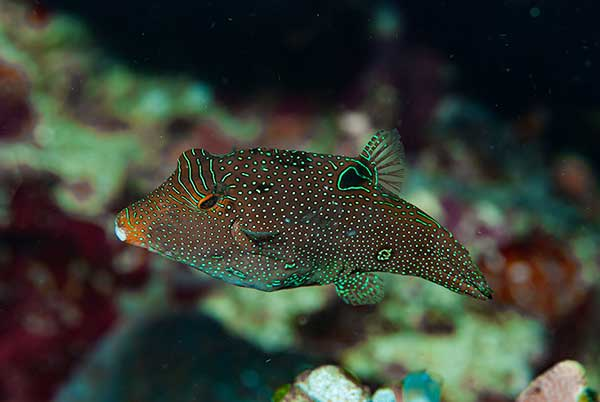 (Canthigaster papua)