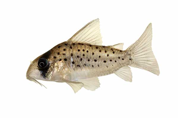 (Corydoras atropersonatus)