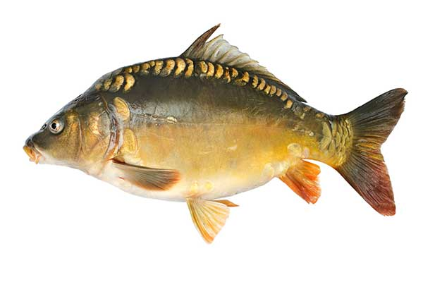 Karp for Carpa europea