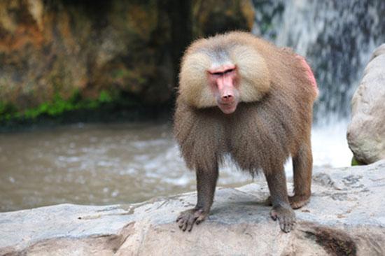 A Baboons But Małpy wąskonose - Me...