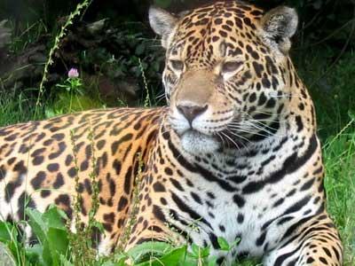 Jaguar on Po  Ywienie Jaguara Stanowi   Zwykle Du  E Ssaki  Tapiry  Kapibary