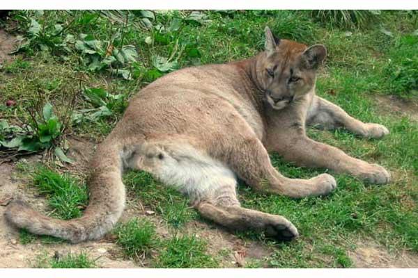 Puma Kuguar Medianaukapl